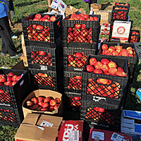 1,738 pounds of apples donated to community food banks